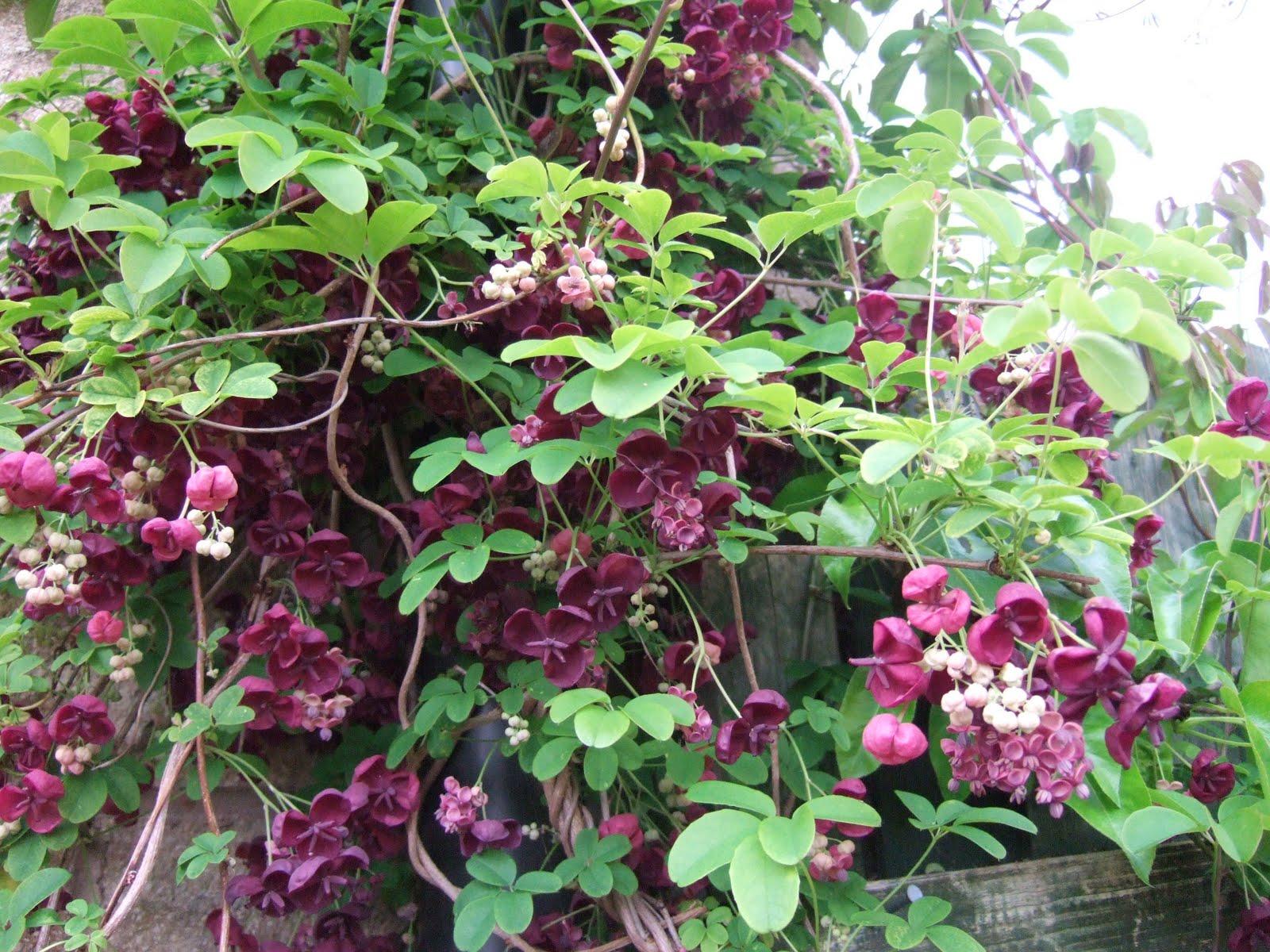 Plant World: Akebia quinata
